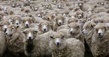 Ein tadelloses und angepasstes Mitglied einer Schafherde sein
