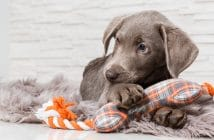 Hundewelpe mit Spielzeug